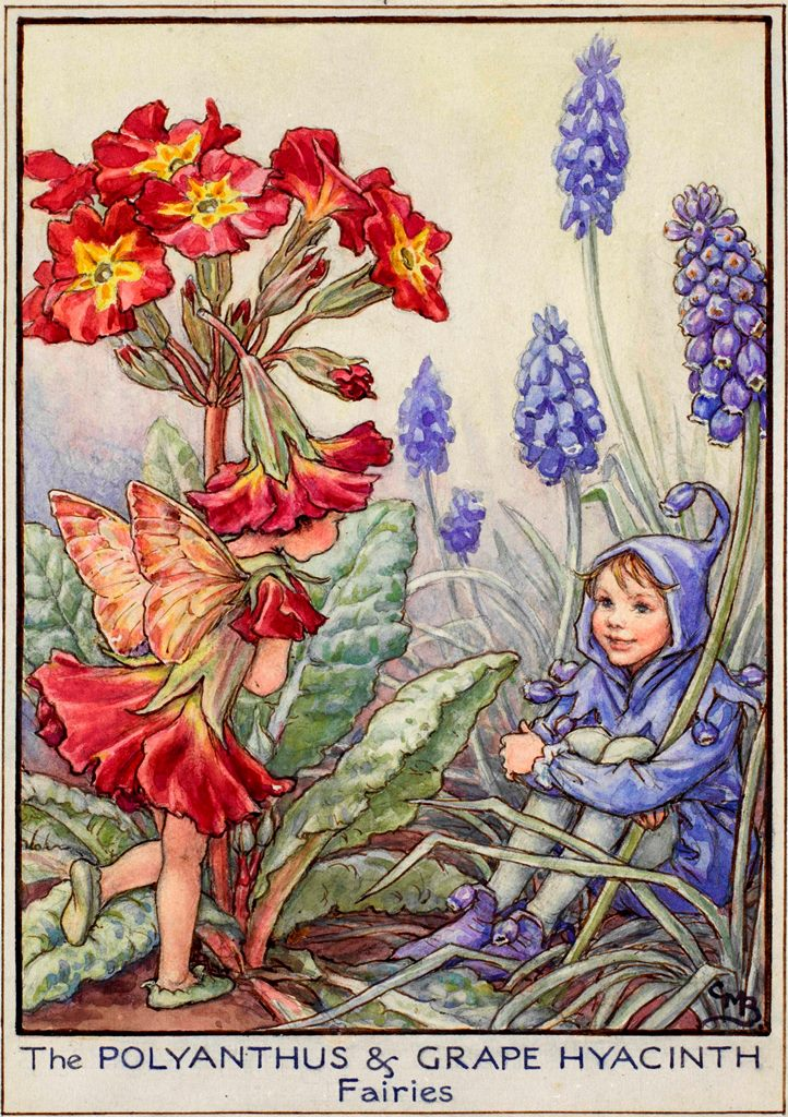 Polyanthus and grape hyacinth flower fairies