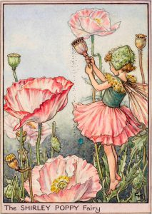 Shirley poppy flower fairy
