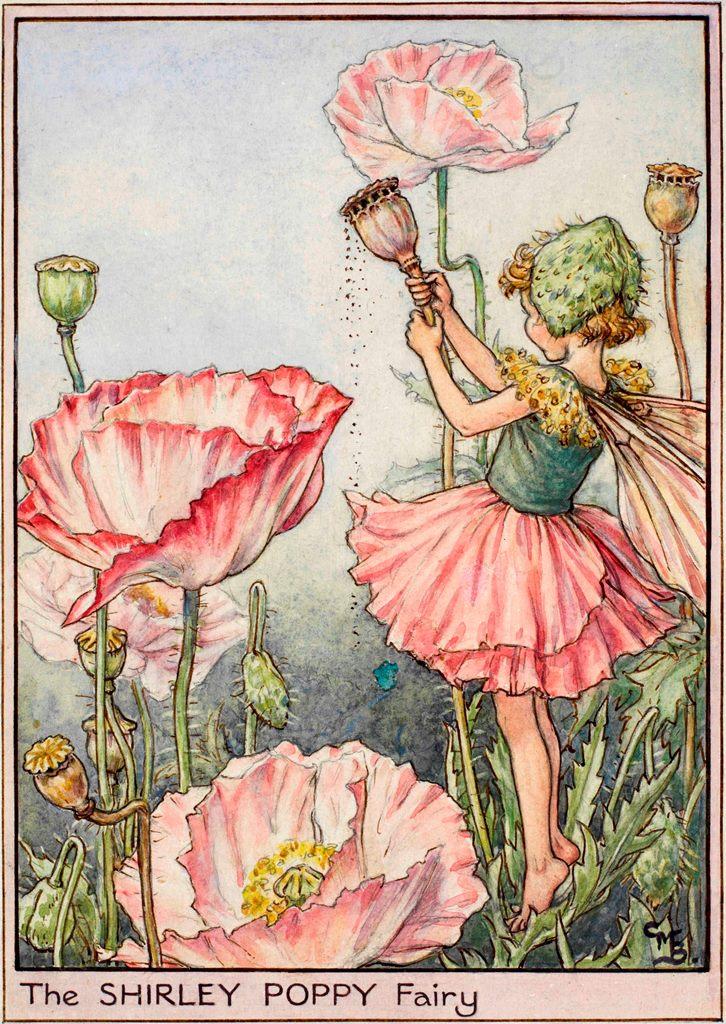 Shirley Poppy Flower Fairy