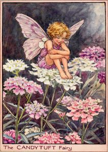 Candytuft flower fairies