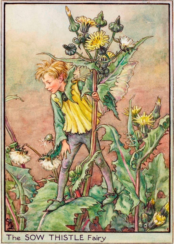 Sow thistle flower fairy